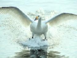 白鳥写真1