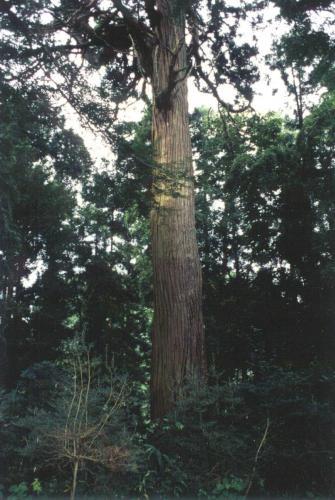 68鱗勝院の杉