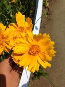 オオキンケイギク(花)