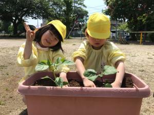 夏野菜の植えつけ