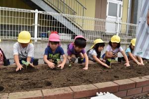 ブロッコリーの苗を植える
