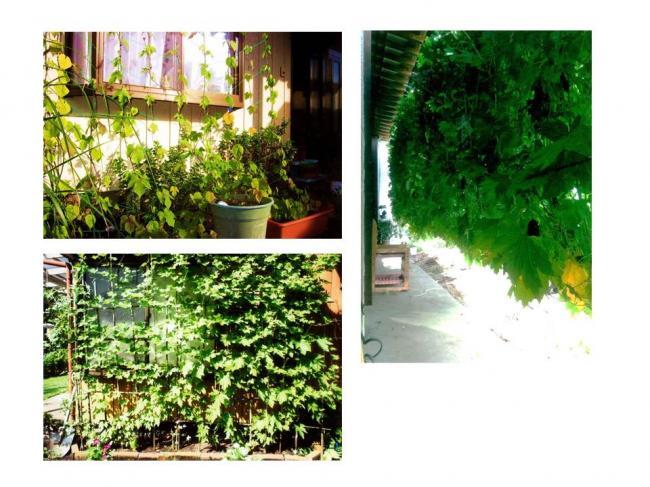 H30グリーンカーテン画像2-(1)