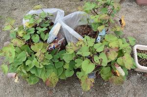 肥料袋で育てたサツマイモ