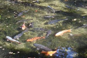池には大きな錦鯉