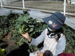 ブロッコリーを包丁で収穫したよ