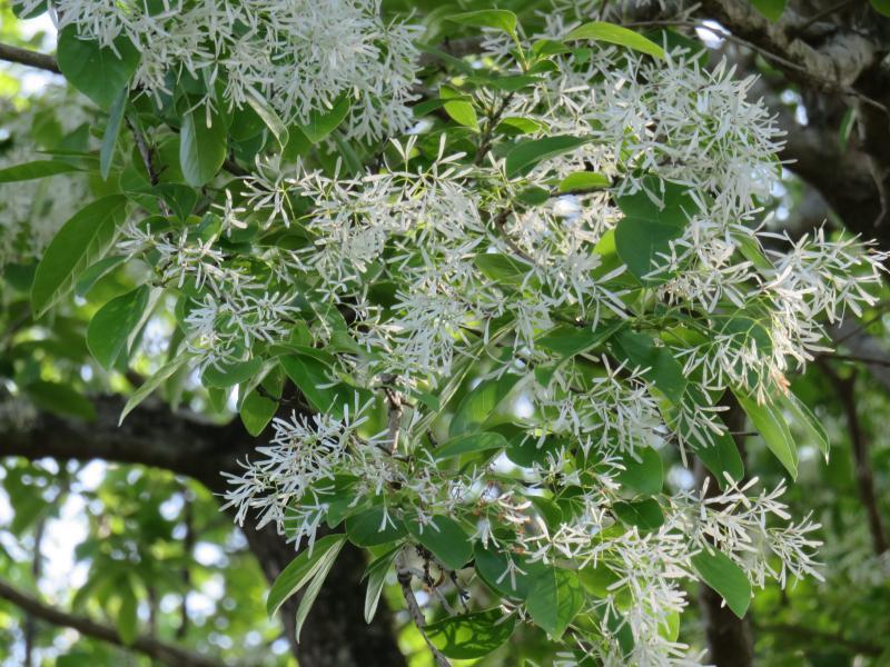 ヒトツバタゴの花