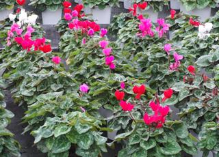 いぃ那珂暮らし応援団 記事 しどり園芸の花