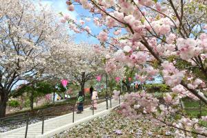静峰ふるさと公園八重桜写真1