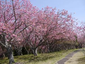 静峰ふるさと公園八重桜写真2
