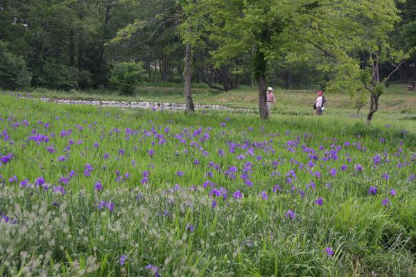 017清水洞の上公園・かきつばた畑