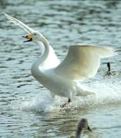 『冬の到来を告げる白鳥が那珂市に飛来しています』の写真